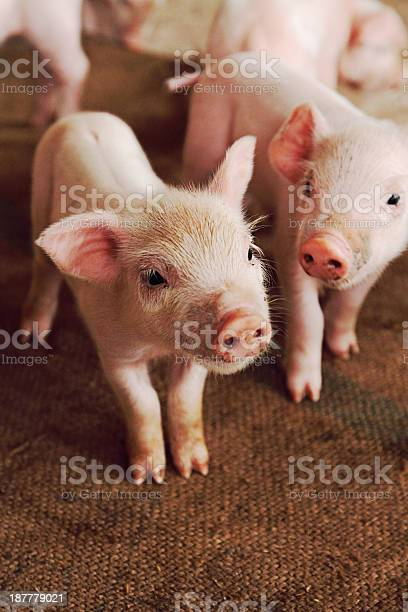 Little pig picture id187779021?b=1&k=6&m=187779021&s=612x612&h=wpcshj8fhfdr vo 15x os1 5nkibr3fk8mwdlpswo4=