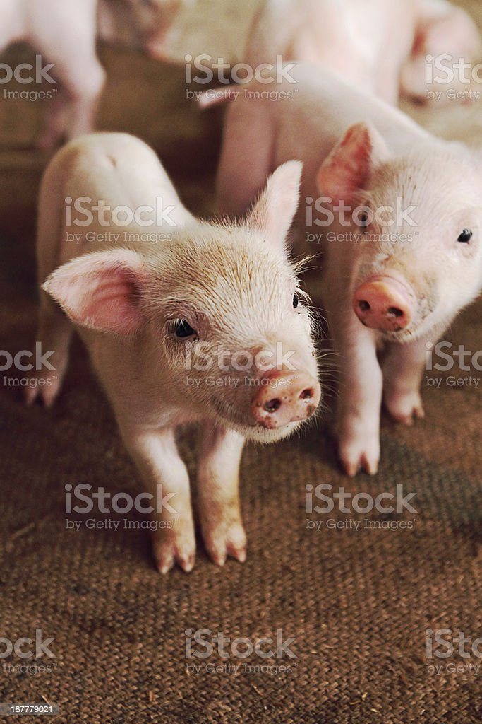 little pig stock photo