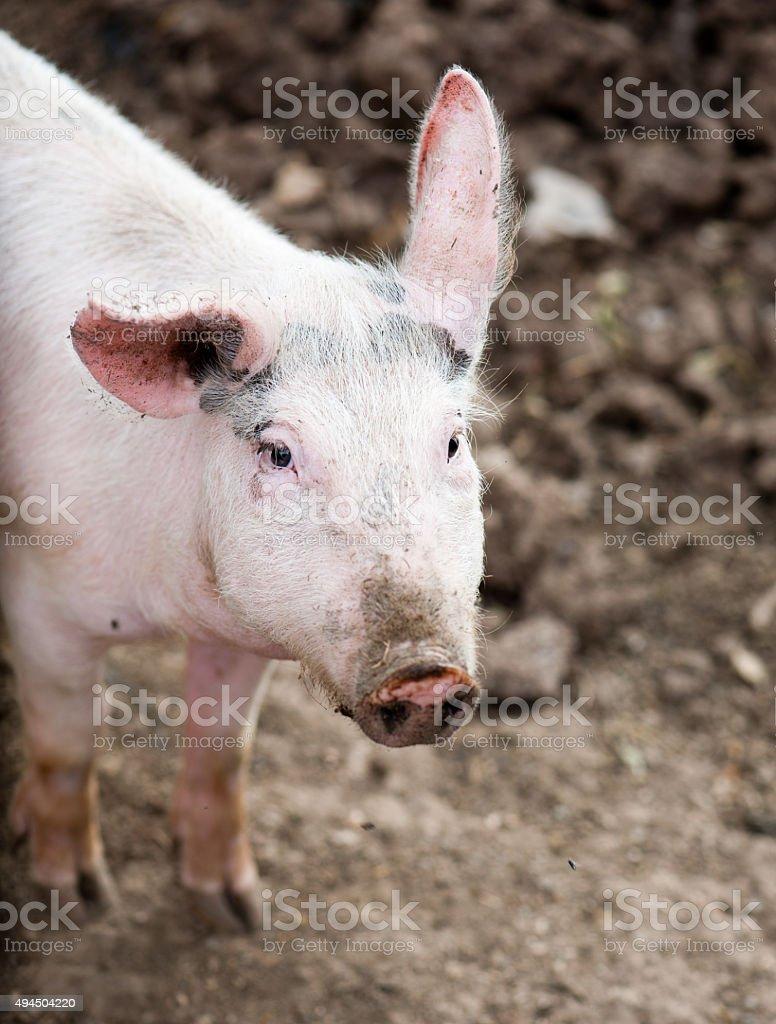 little pig stock photo