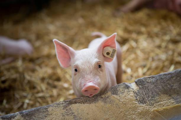 a little piglet is in barn. - maialino foto e immagini stock