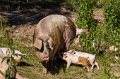 Little piglets and pig in the outdoor pen