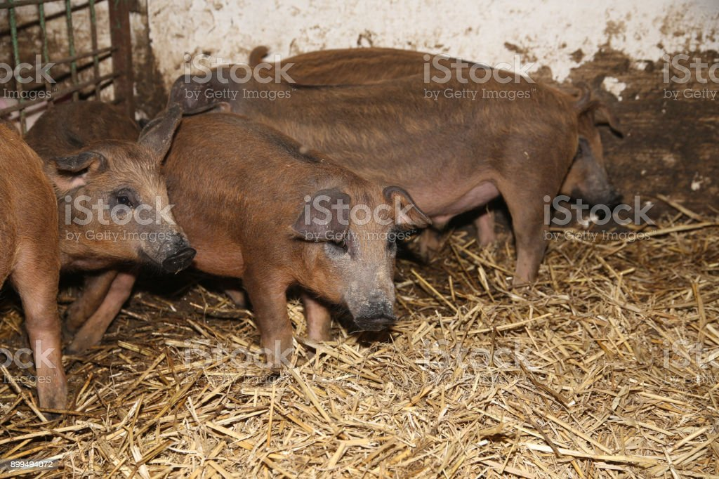 Little Piglets Inside At Animal Barn Rural Scene Royalty Free Stock Photo