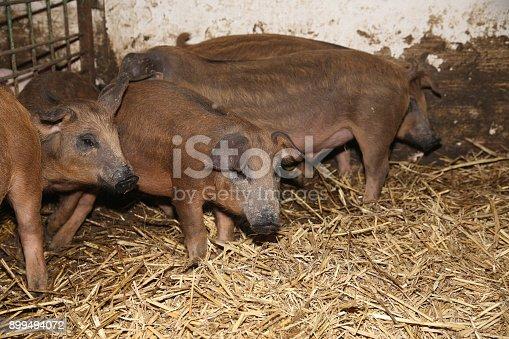 Little Piglets Inside At Animal Barn Rural Scene Stock Photo