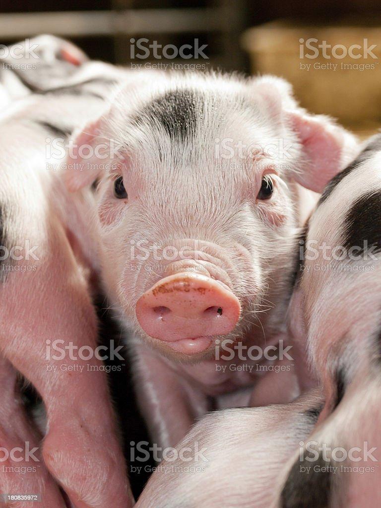 Little  Piglets stock photo
