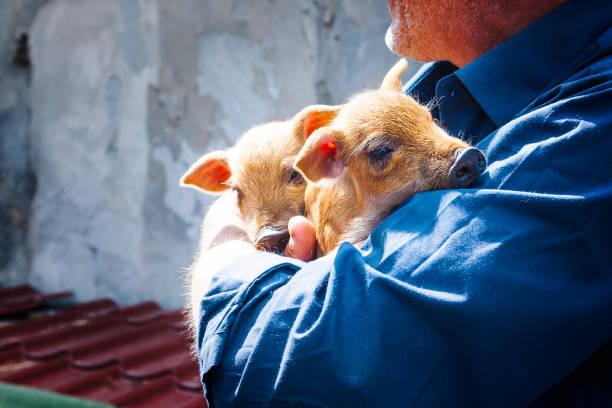 little pigs in arms - allevatore foto e immagini stock