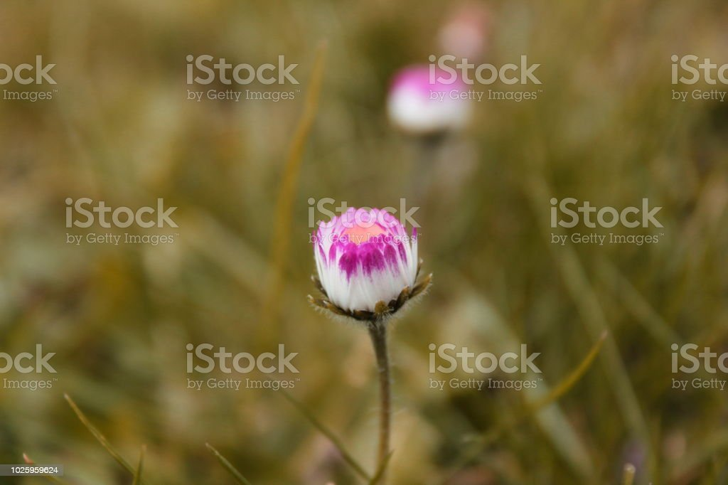 Little pink and white wild flower stock photo more pictures of art little pink and white wild flower royalty free stock photo mightylinksfo