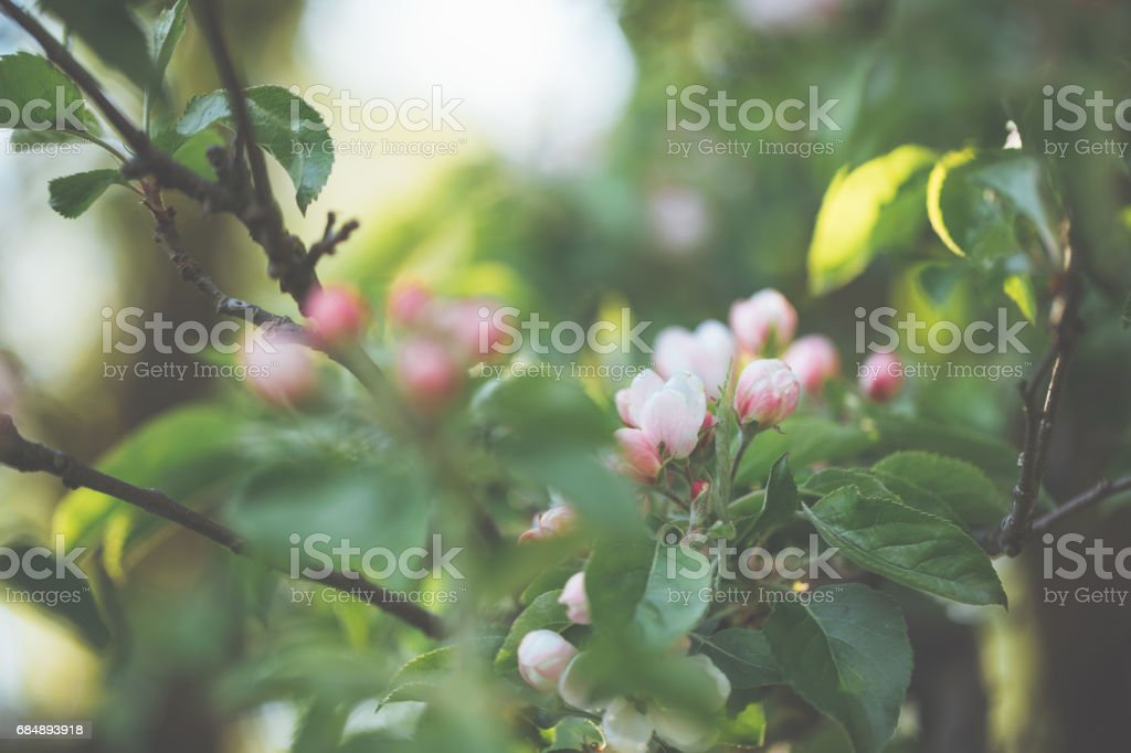Little pink  apple blossoms on a sunny spring day Lizenzfreies stock-foto