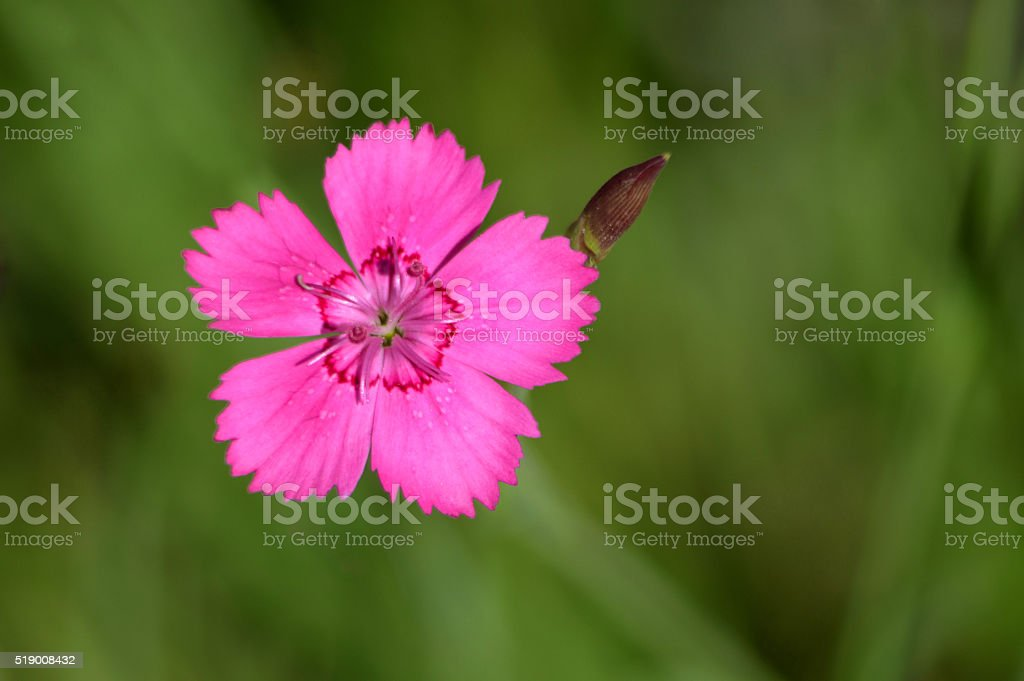 Little Pink Dianthus Flower stock photo
