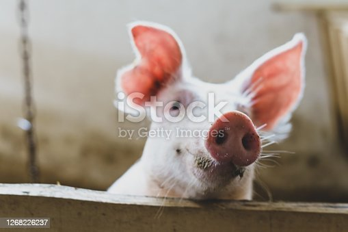 Piglet, trunk, stall, wood, lath, farm, animal husbandry, happy, pig's ear, animal eye