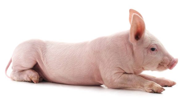Where Can I Get New Tires For My Car, Little Pink Pig Stock Photo, Where Can I Get New Tires For My Car