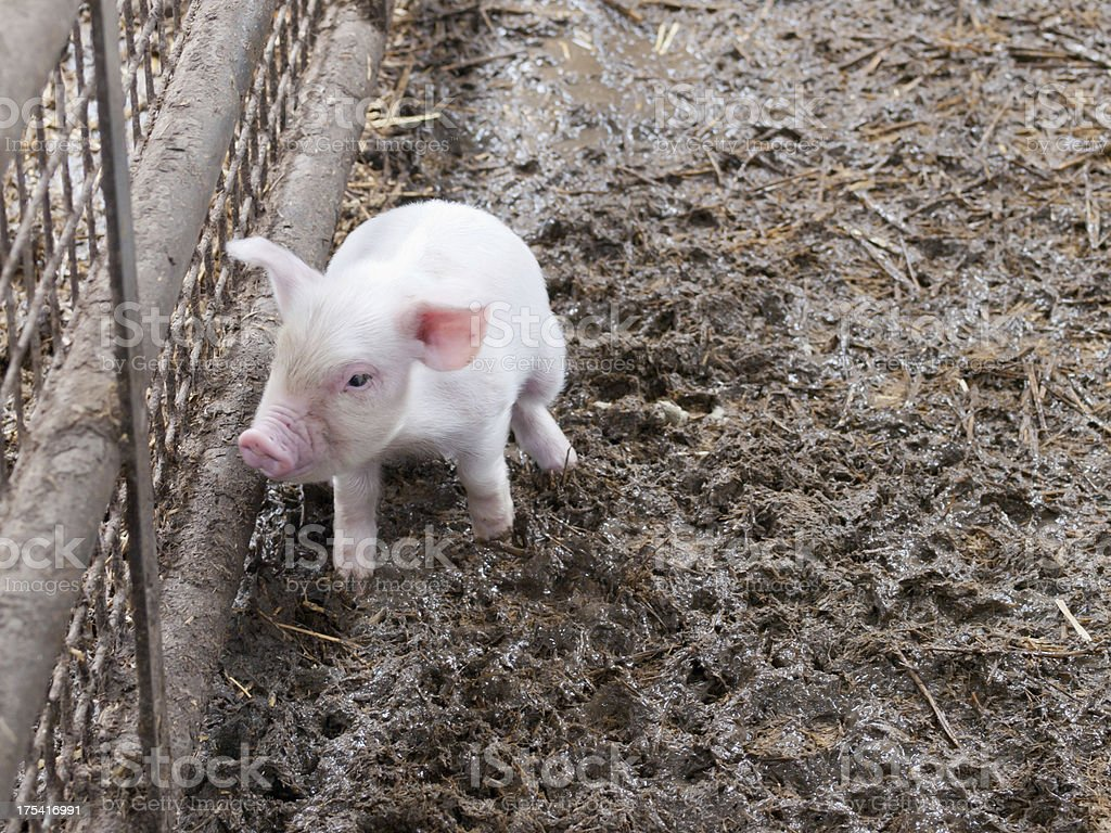 Little pink pig stock photo