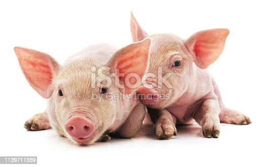 Little pink pigs isolated on a white background.