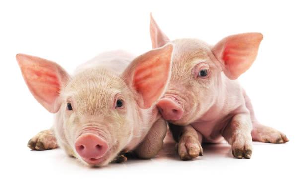little pink pigs. - maialino foto e immagini stock