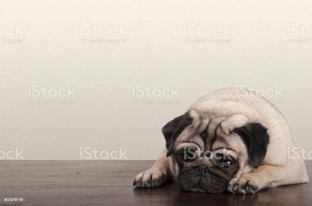 little pitiful sad pug puppy dog, lying down on wooden floor stock photo