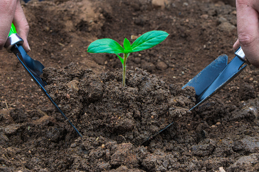 486530452 istock photo Little plant and soil on the hand shovel and spade held by two hands. Earth day. World environment day. Ozone day. 1172636122