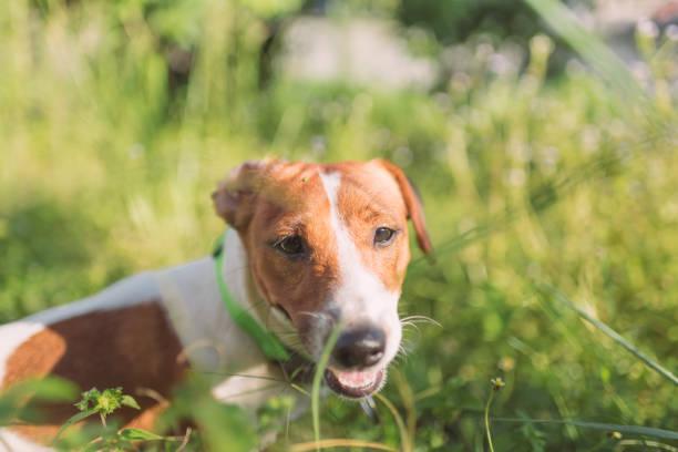 Little playful jack russell terrier dog playing in garden in morning picture id998337416?b=1&k=6&m=998337416&s=612x612&w=0&h=ylg82blnbaqdjqoujcrvl1alujjyxqvzhxjrkr8ff4u=