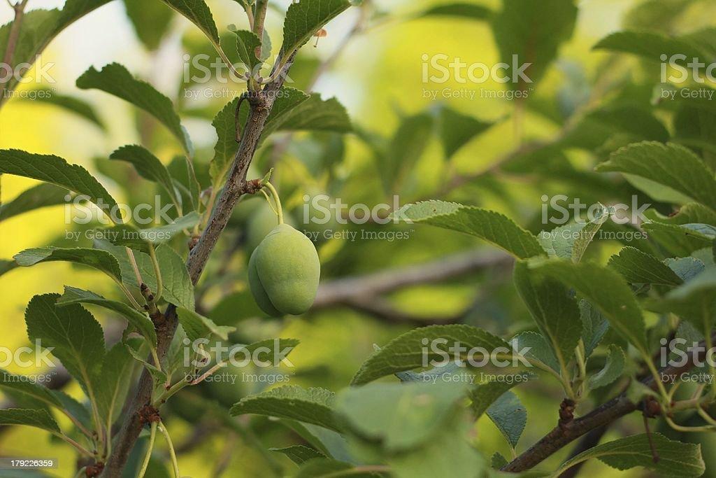 Little plum royalty-free stock photo