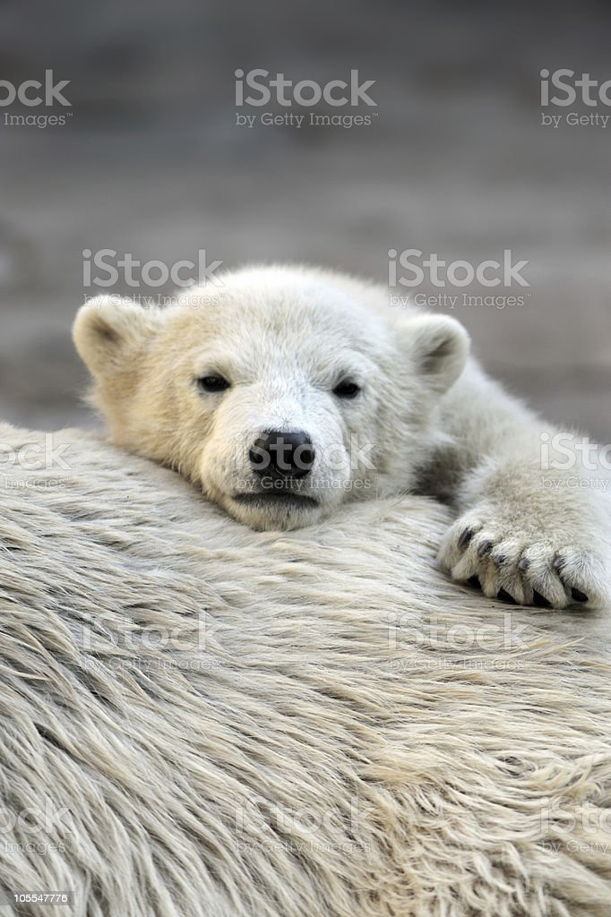 Little polar bear cub having a rest stock photo