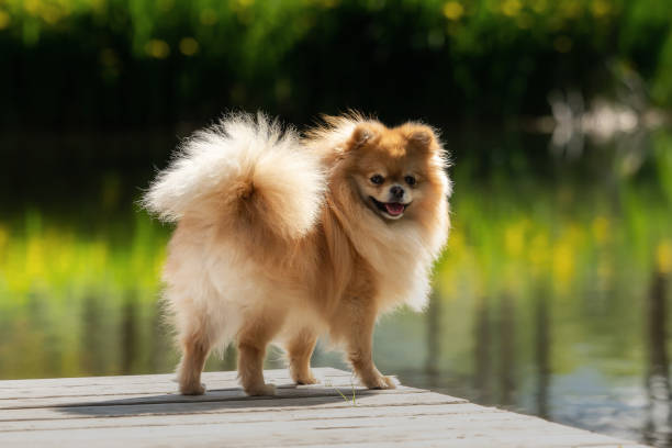 A little Pomeranian out in the nature stock photo