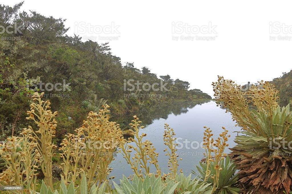 Little Pond Surrounded by Espelitia stock photo