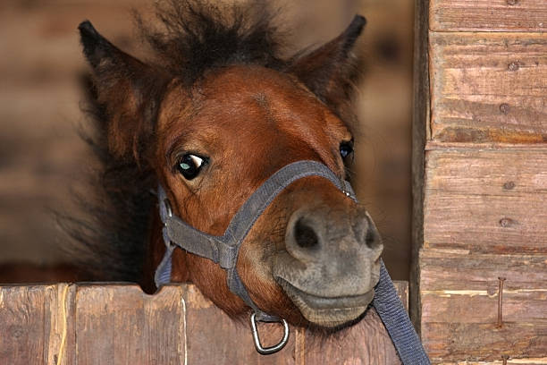 Little pony. Foal in the barn. pony stock pictures, royalty-free photos & images