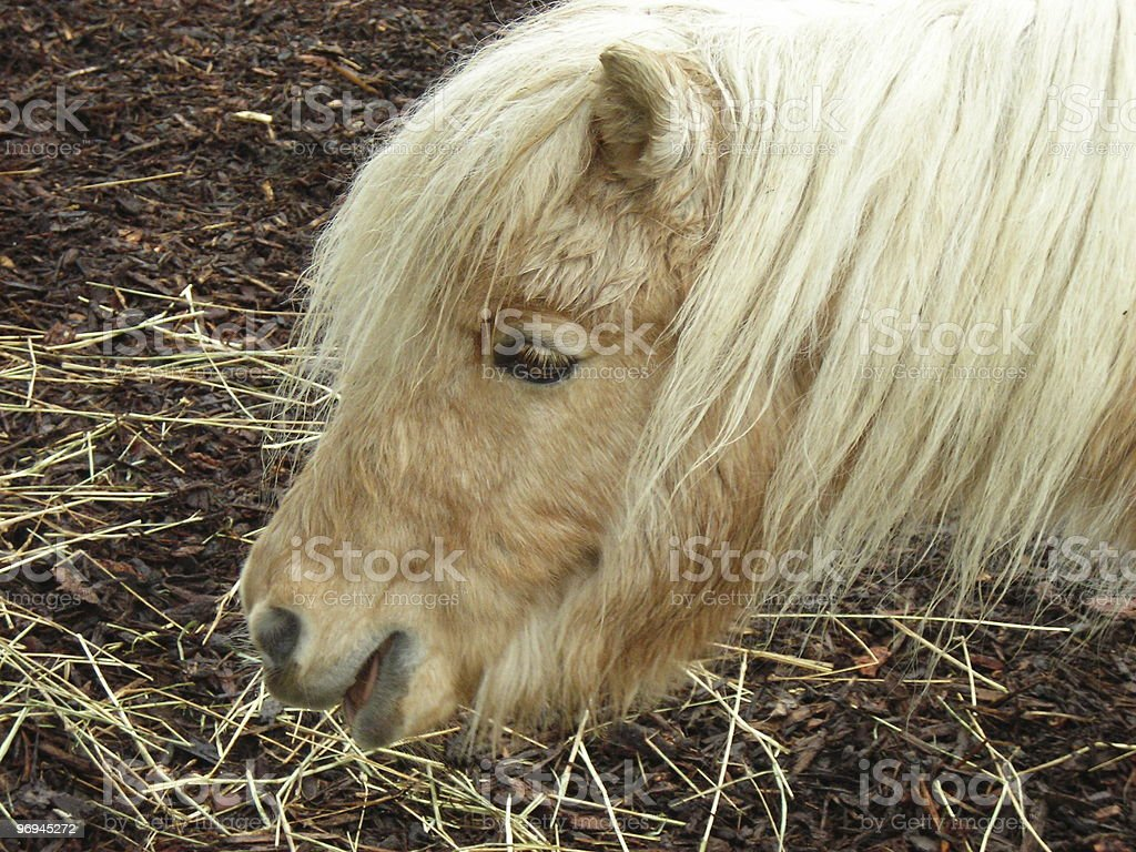 Little Pony royalty-free stock photo