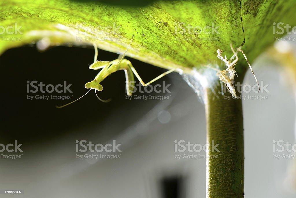Little Praying Mantis under lotus leaf royalty-free stock photo