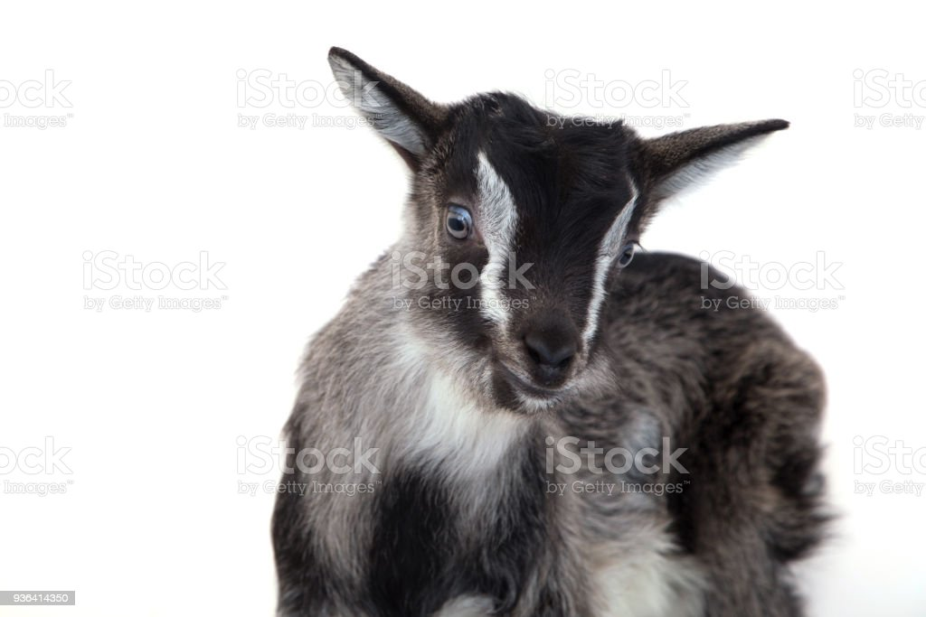 Little pretty goatling stock photo