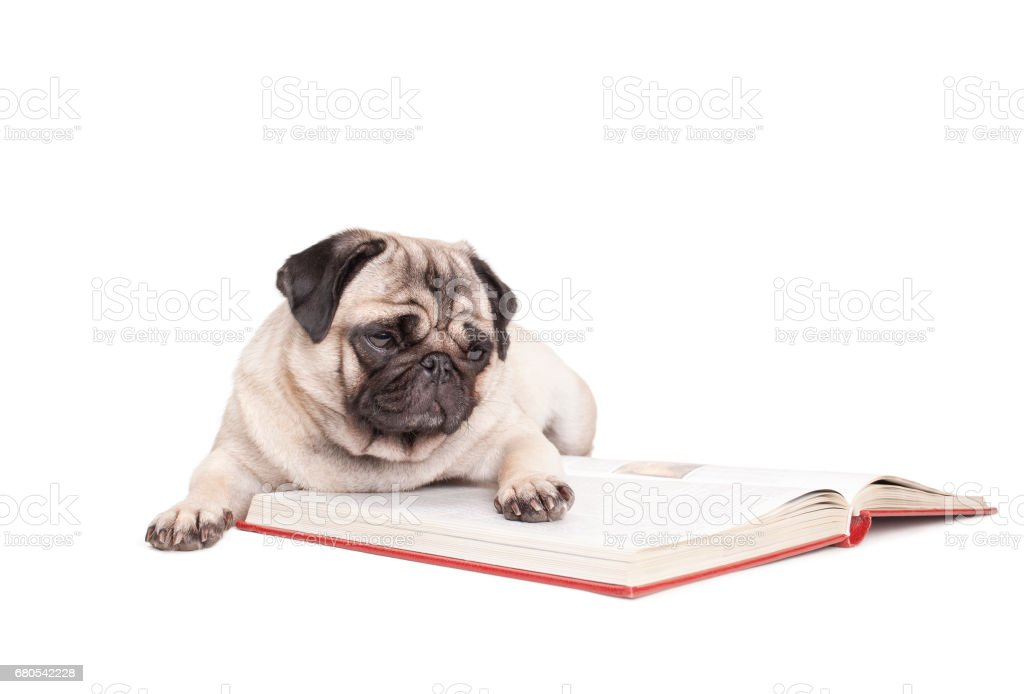 little pug dog puppy is lying down and reading a book, isolated on white background stock photo