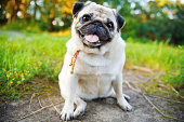 Little smiling pug sitting on sidewalk in summer park