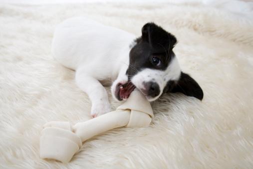 A cute puppy chewing a rawhide bone.