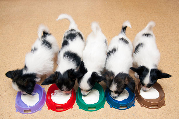 Little Puppies Papillon eating curd stock photo