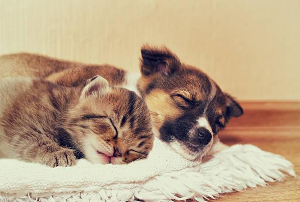 Little puppy and kitten picture id523885284?b=1&k=6&m=523885284&s=612x612&w=0&h=jk4s1vxskjdjcuuuww3bwymd8l65uec68h6ntczgbp8=