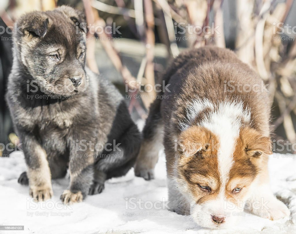 little puppy in the snow royalty-free stock photo