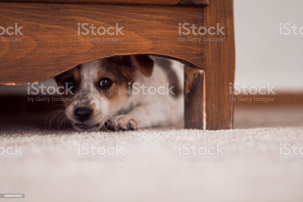 Little puppy is hiding under cupboard stock photo