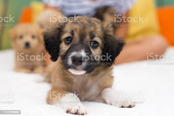 Little puppy lying on the bed picture id1143298997?b=1&k=6&m=1143298997&s=612x612&h=upm sghehvf hojs5o2w5 xziswgygicg8hniu0fjsc=