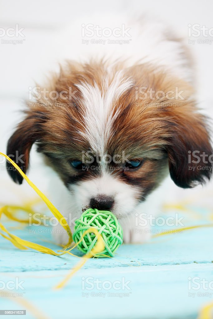 Little Puppy Papillon royalty-free stock photo