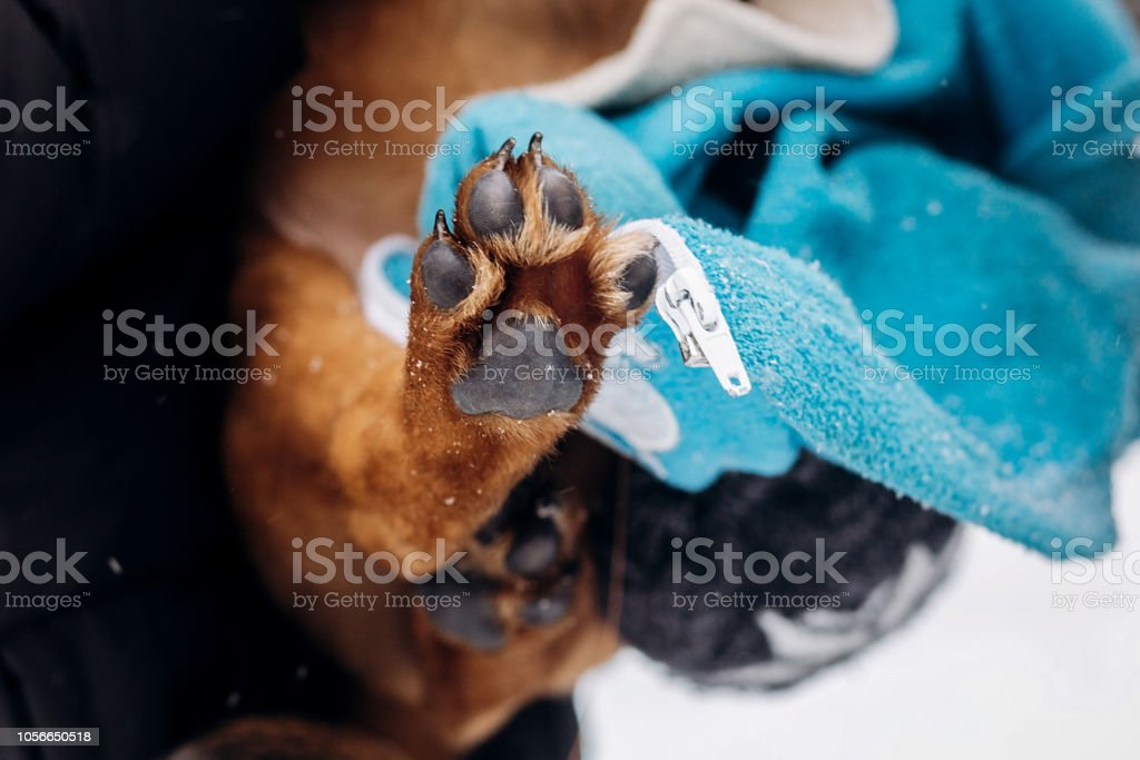 little puppy paw close up.women dressing up cute doggy in snowy cold...