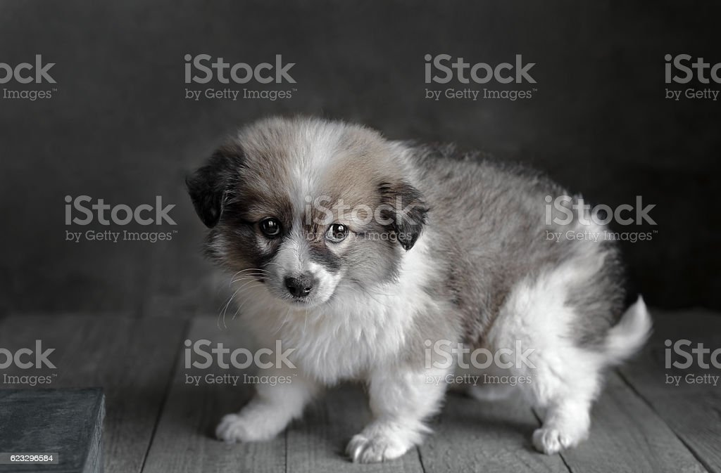 Little puppy stands on a dark gray background. stock photo