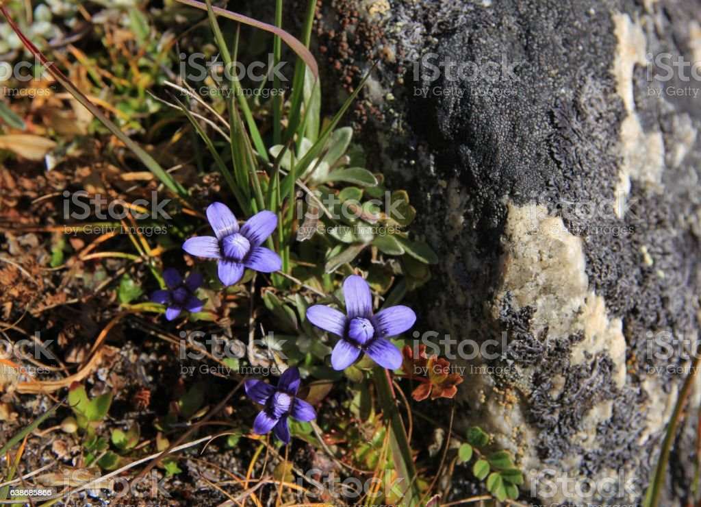 Little Purple Flowers Photographed In The Himalayas Stock Photo