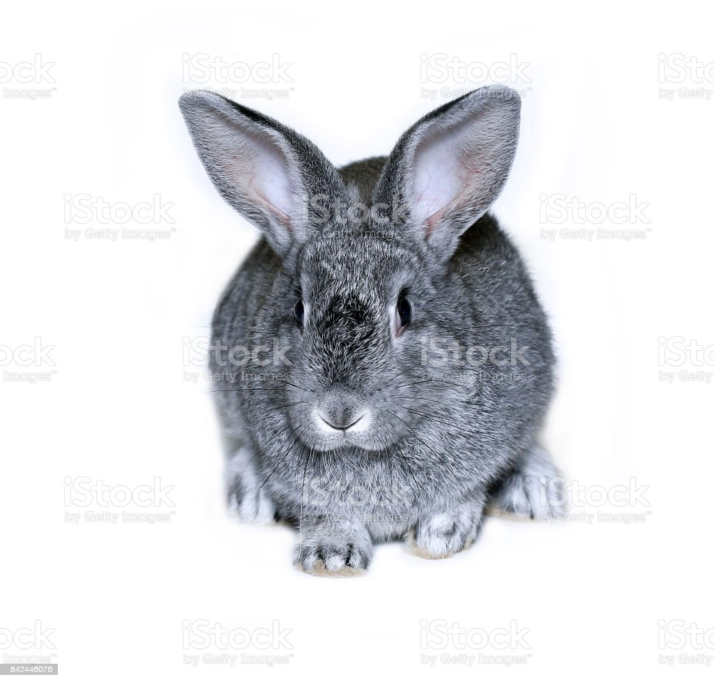 Little rabbit breed of gray silver chinchilla stock photo