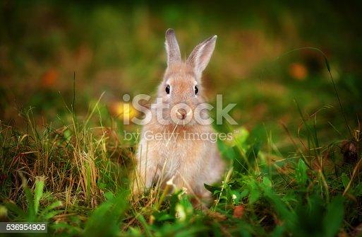 istock little rabbit in the grass 536954905