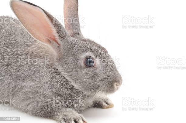 Little rabbit picture id106543541?b=1&k=6&m=106543541&s=612x612&h=s4im7wjp2qf 6dxcv7hla0qycotpgwwpqz v9yhlzgg=