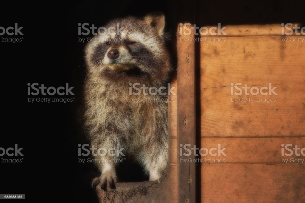 A  little raccon looks out of his house 免版稅 stock photo