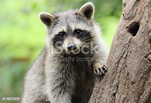 istock Little Raccoon on tree 514622028
