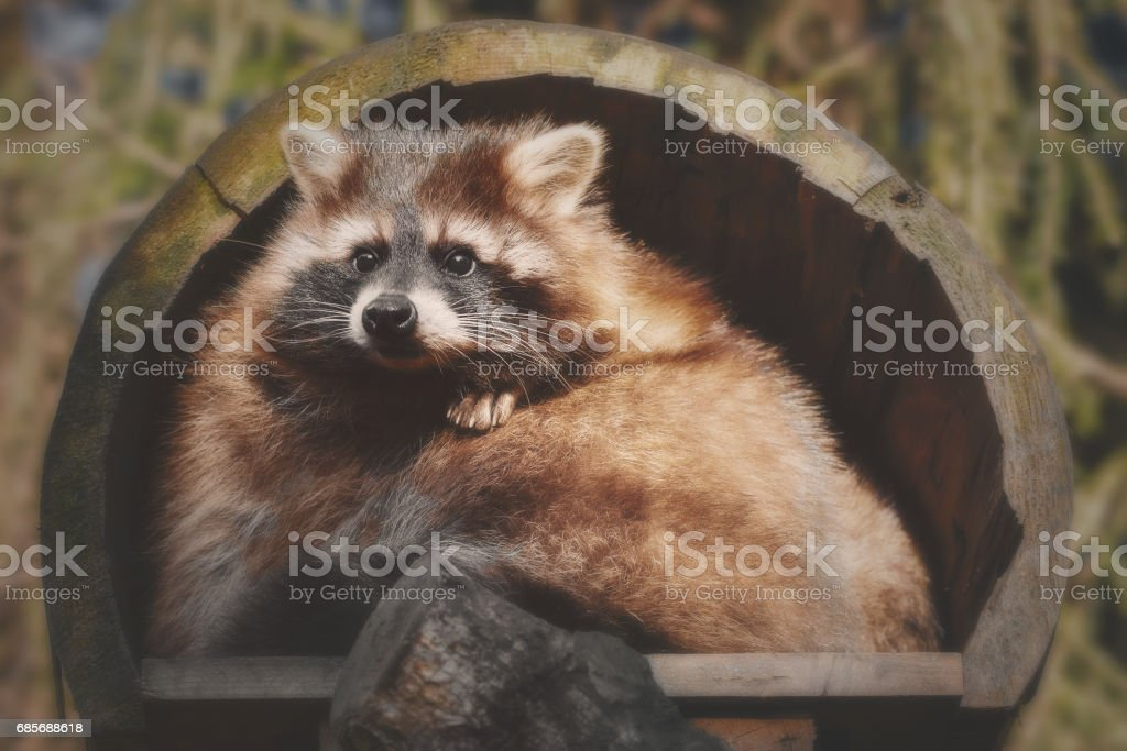 A little racoon looks out of his house Lizenzfreies stock-foto
