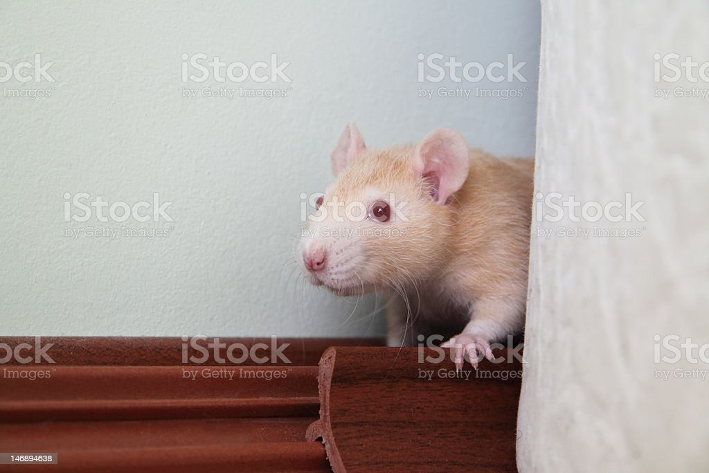 little rat hiding behind the sofa stock photo