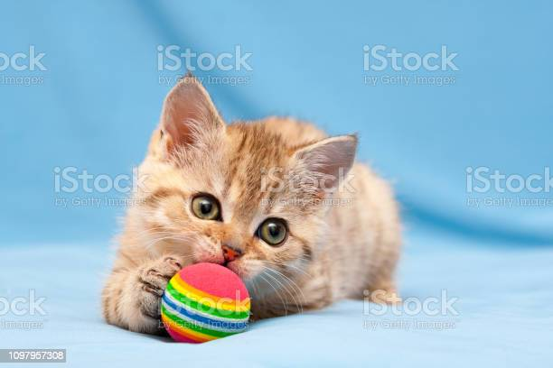 Little red british kitten playing with a colorful ball picture id1097957308?b=1&k=6&m=1097957308&s=612x612&h=vfqx1keo37hxcgpwjah9a79sck3qkl6 50con56fdi8=