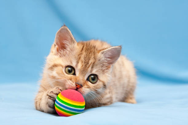Little red British kitten playing with a colorful ball stock photo