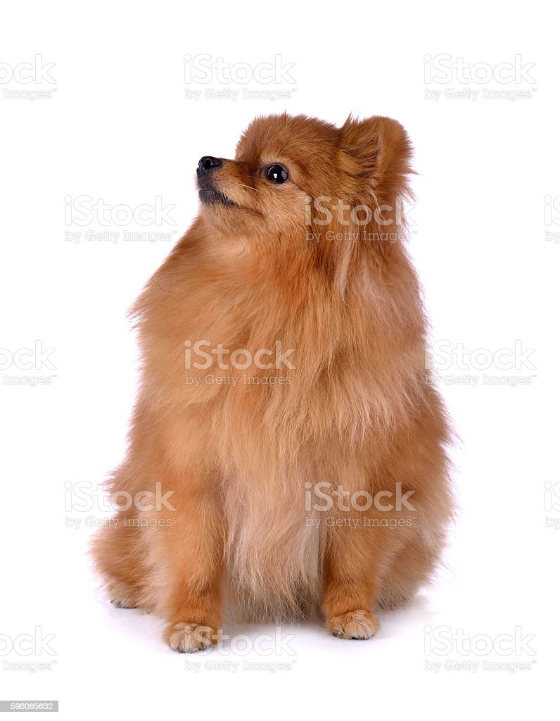 little red dog lying on a white background royalty-free stock photo
